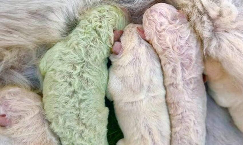Sardegna, dalla cucciolata di Labrador spunta un cane verde: si chiamerà Pistacchio