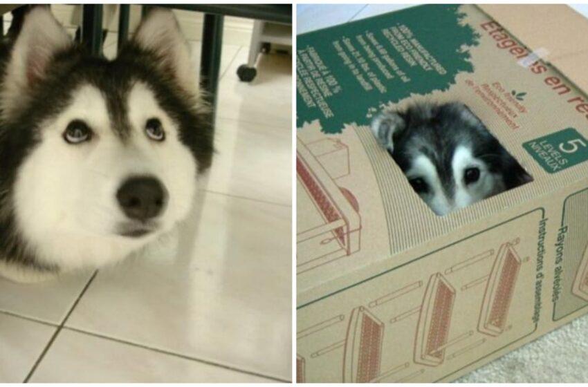 Ecco Tally, l'husky cresciuto insieme ai gatti che si comporta come loro