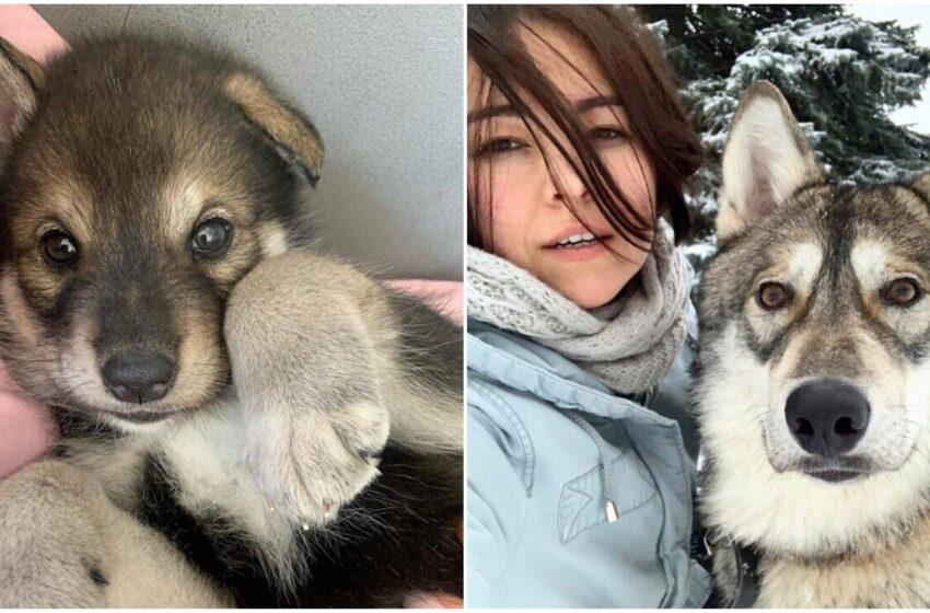 Salva e alleva un lupo abbandonato che altrimenti non sarebbe sopravvissuto