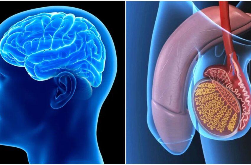 Cervello dell'uomo e testicoli sono incredibilmente simili tra loro: lo studio