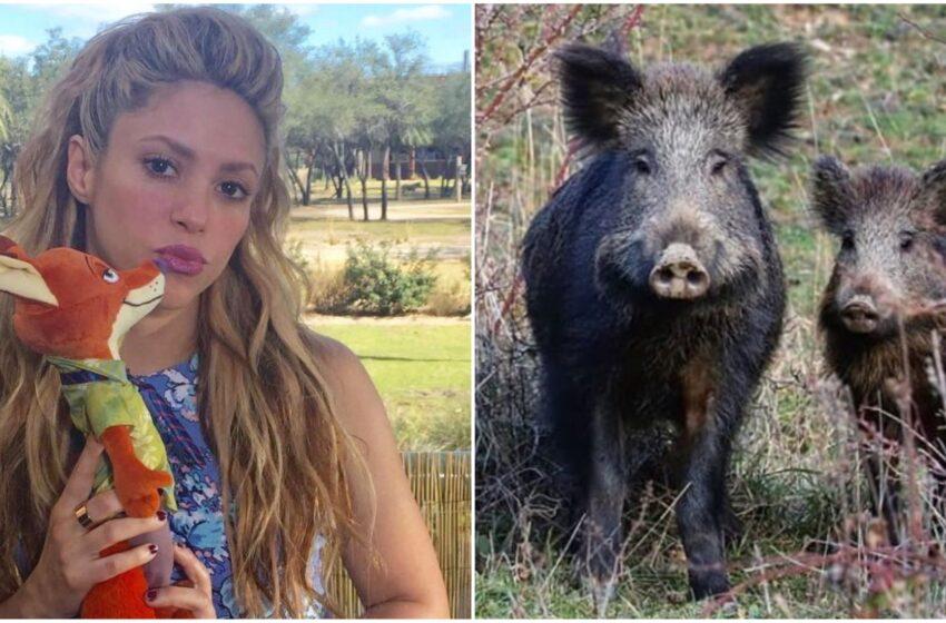 """Shakira presa di mira da due cinghiali a Barcellona: """"Mi hanno portato via la borsa"""""""